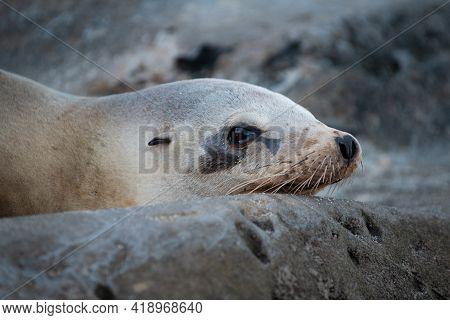 Closeup Seal. Fur Seals On Rocky Shore Of Beach. Arctocephalus Forsteri.