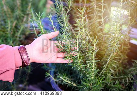 Close Up Of Woman Hand With Rosemary Leaves. Rosemary Is Evergreen Plant Of The Mint Family The Leav