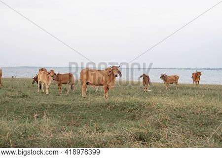 Herds Of Cattle In Reservoir Grassland Area, Raising Animals.