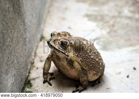 Common Toad Or European Toad, Bufo Bufo, On The Ground Near The Pond In Nature