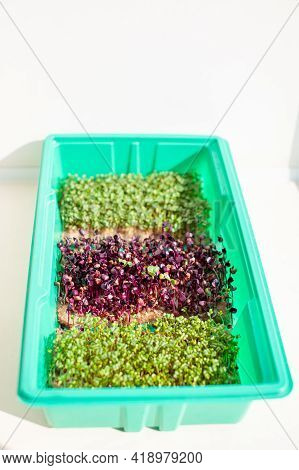Close-up Of Micro-greenery Of Basil, Arugula And Other Plants. Growing Basil Sprouts Close-up. Germi