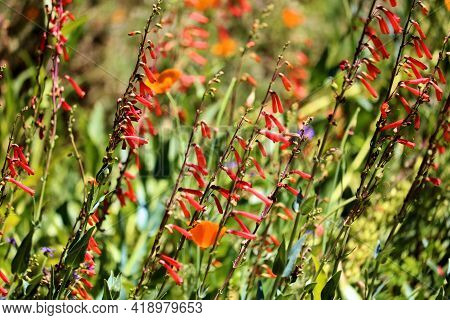 Lush Chaparral Plants And Wildflowers During Spring Taken On A Meadow At A Chaparral Woodland In The