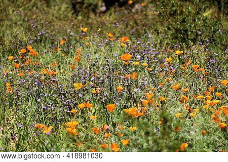 Poppy Plant Flower Blossoms During Spring On The Southern California High Desert Plateau Taken At A