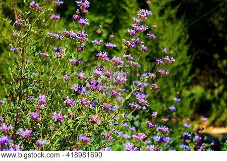 Lush Chaparral Plants Witth Flower Blossoms During Spring Taken At A Drought Tolerant Garden In A Re