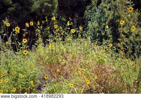 Coast Sunflower During Spring Which Is Native To The Arid California Coast Range Taken On A Chaparra