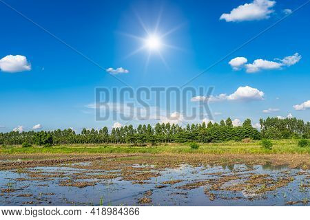 Scenic View Landscape Of Young Rice Field Green Grass With Field Cornfield In Mud And Water In Asia