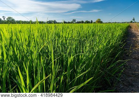 Scenic View Landscape Of Rice Field Green Grass With Field Cornfield Or In Asia Country Agriculture