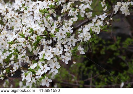 Wild Cherry Tree In Bloom. Close-up Of White Cherry Blossom. Flowering Fruit Tree In The Spring Gard