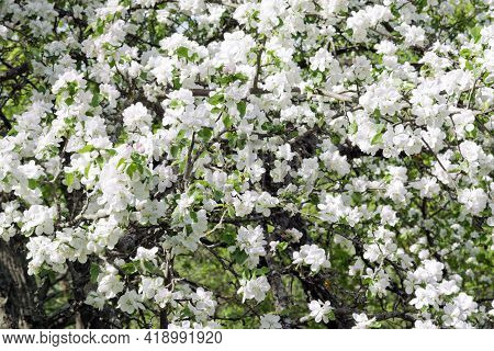 Lush Plum Blossom In The Wild. White And Pinkish Fragile Flowers In The Early Stage Of Flowering Den