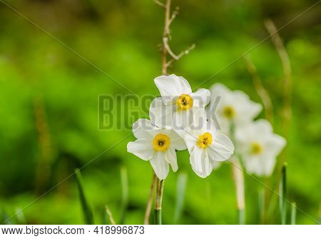 White Narcissus With A Yellow Core Bloom In The Garden In April. A Large Field Of Narcissus. Spring