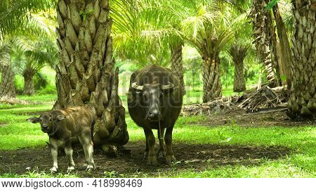 Buffalo With A Calf In A Rural Area Among Palm Trees. Plantation Of Palm Trees With Green Leaves. Tr