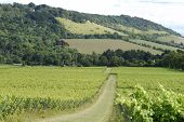 English vineyard at Dorking. Surrey. England. With North Downs and Box Hill in background poster