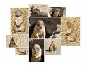 Summer close-up multishot collage of the souslik (ground squirrel) poster