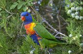 brightly coloured australian rainbow lorikeet Trichoglossus haematodus with blue and face and scarlet beak poster