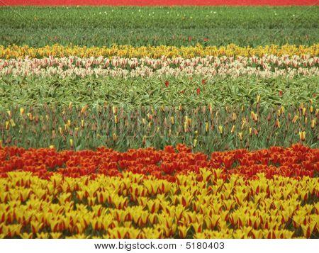 Holländische Blume-Feld