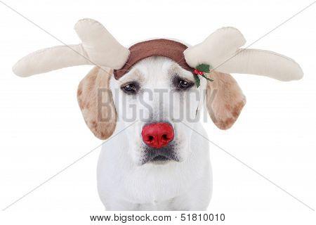 Funny Christmas red nosed Labrador reindeer dog poster