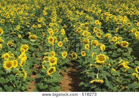 Sunflower Field #2