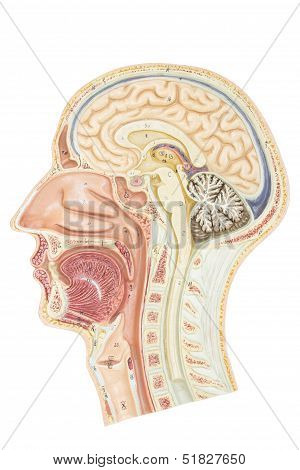 Cross section of human head