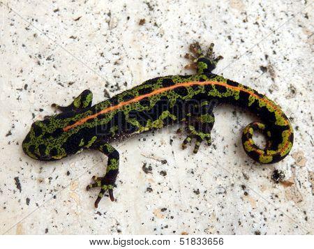 Juvenile Marbled Newt