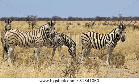 Zebra - Wildlife Background from Africa - Nature beauty and Animal Kingdom brilliance