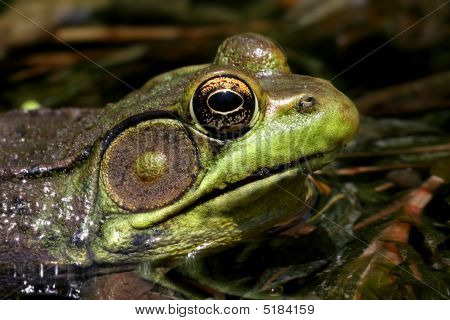 Green Frog (Rana clamitans) sunning in a pond poster