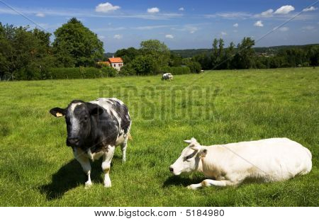 Grazing cows in Holland. Beautiful summer landscape poster