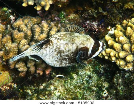 Masked puffer fish and coral reef in Red sea poster