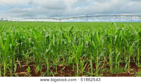 Sweet Corn Crop In Australia
