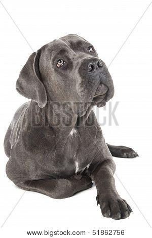 Cane Corso Breed Dog