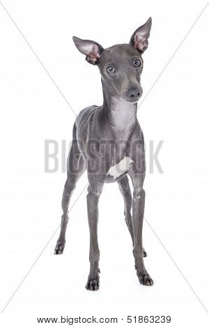 Italian Greyhound Blue Color