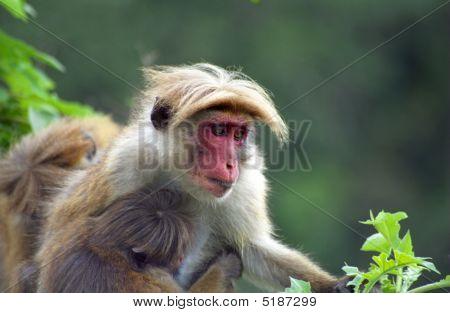 Mountain Toque Macaque, Hill Country, Sri Lanka