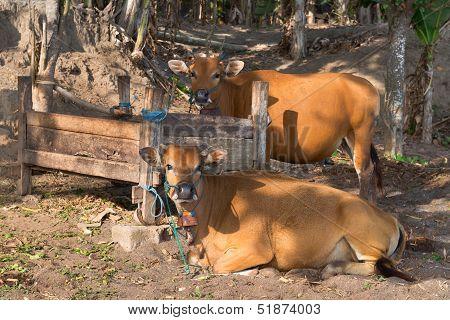 Brown cows near a wooden feeding trough poster