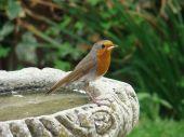 European robin sat on a biurd bath on a sunny day poster