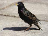 Common starling sturnus vulgaris looking for his dinner poster