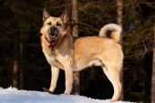 West Siberian Laika walking in winter forest poster