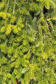 Beautiful green Background of green fir needles poster