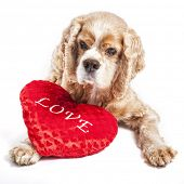 Cocker spaniel snuggled into a love pillow. poster