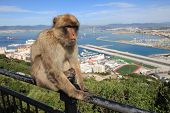Gibraltar Ape and Airport runway and Spain poster