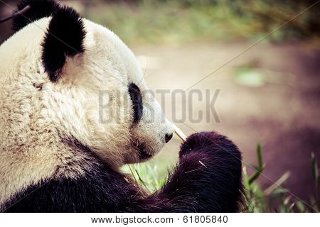 Giand Panda Bear Eating Bamboo