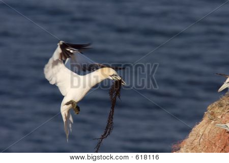 Northern Gannet Landing With Nesting Material 2