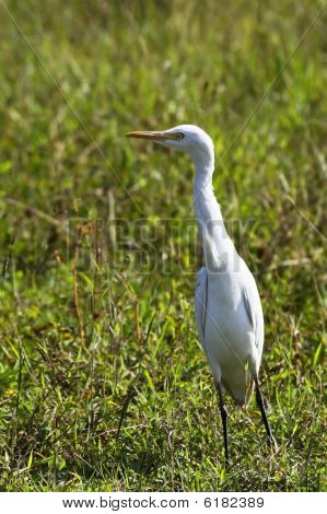 a  cattle egret against a background of reeds and vegetation poster