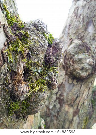 Burl With Moss