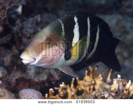 Red Sea Thicklip Wrasse