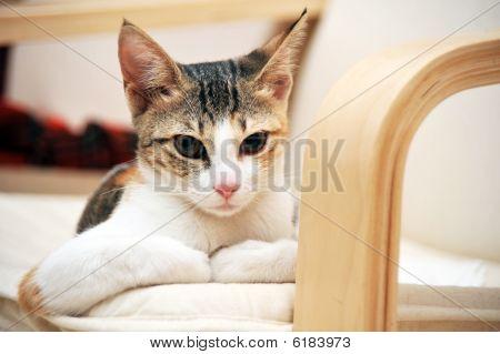 Arabian mau cat