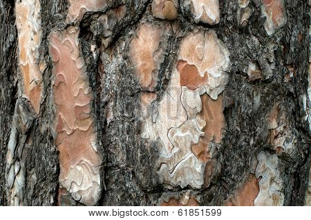 Bark of pine tree texture.