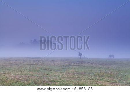 horses grazing on pasture in dense fog during sunrise poster