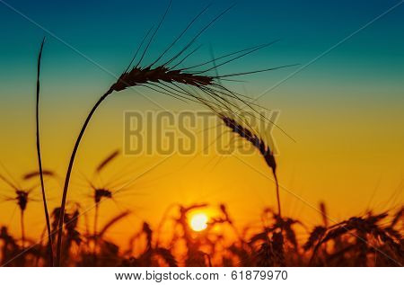 golden sunset and silhouettes of harvest