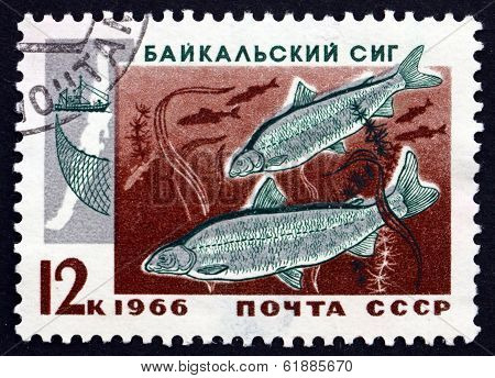 Postage Stamp Russia 1966 Two Baikal Whitefish