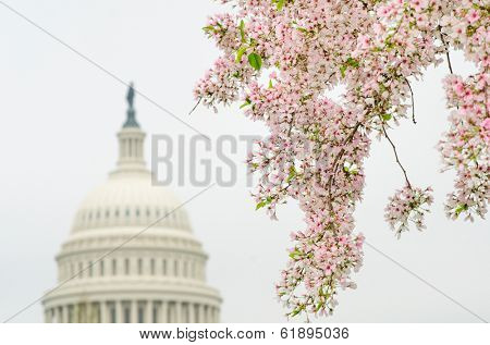 United States Capitol Building dome with cherry blossoms foreground - Washington DC - United States