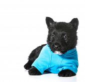 Scottish Terrier puppy wearing blue sweater isolated on white background poster